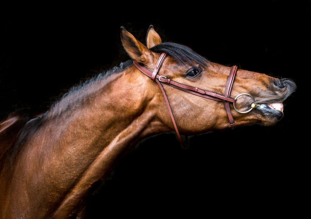 Breeding-Stallion-at-Stud-Studfarm-Portait-Sporthorse-Showjumper