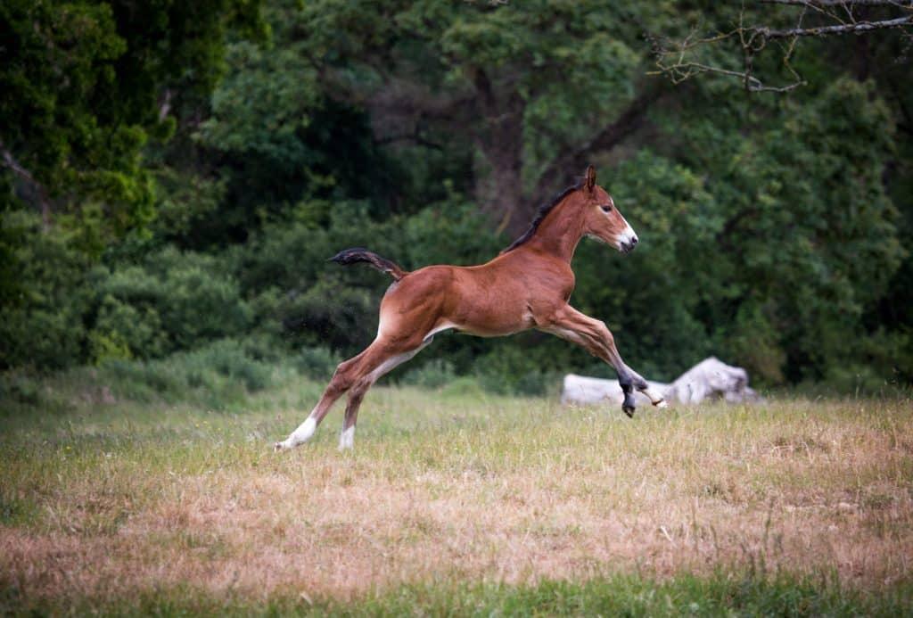 Foal-canter-in-field-Irish-Sporthorse-Breeding-Showjumper-Eventer