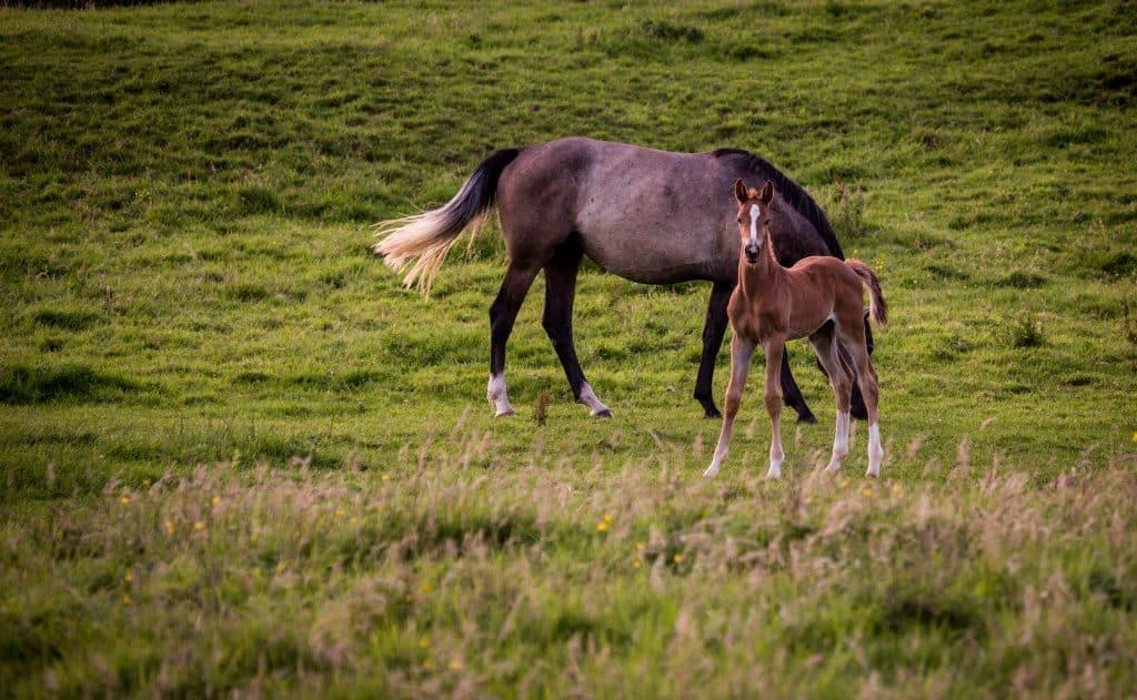 Mare-and-foal-in-field-Irish-Studfarm-Breeding-Sporthorses