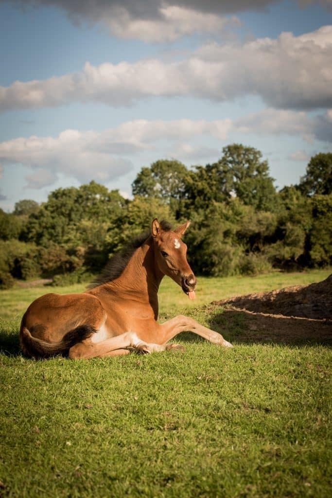 Foal-relaxing-in-the-field-bay-sporthorse