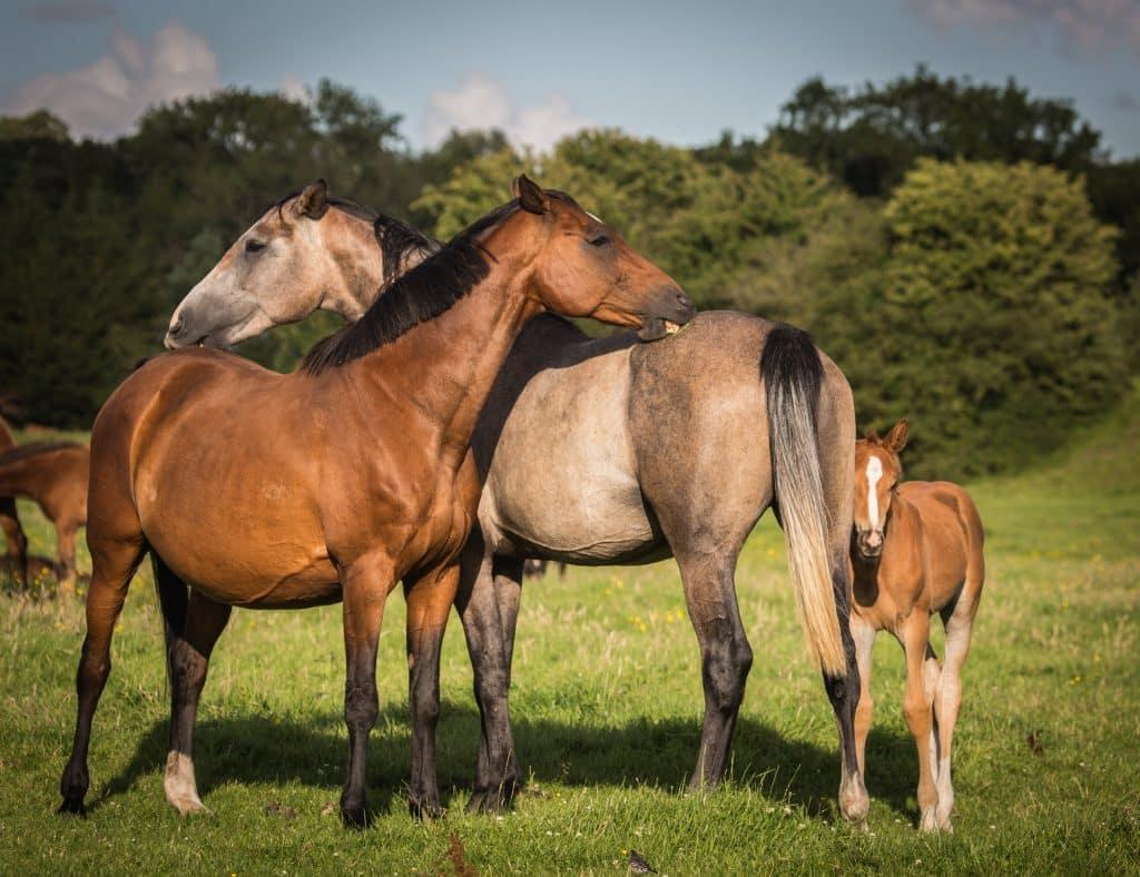 Irish-Broodmares-Foals-Studfarm-Fields-Stallion-StockholmvantRoosakkerZ