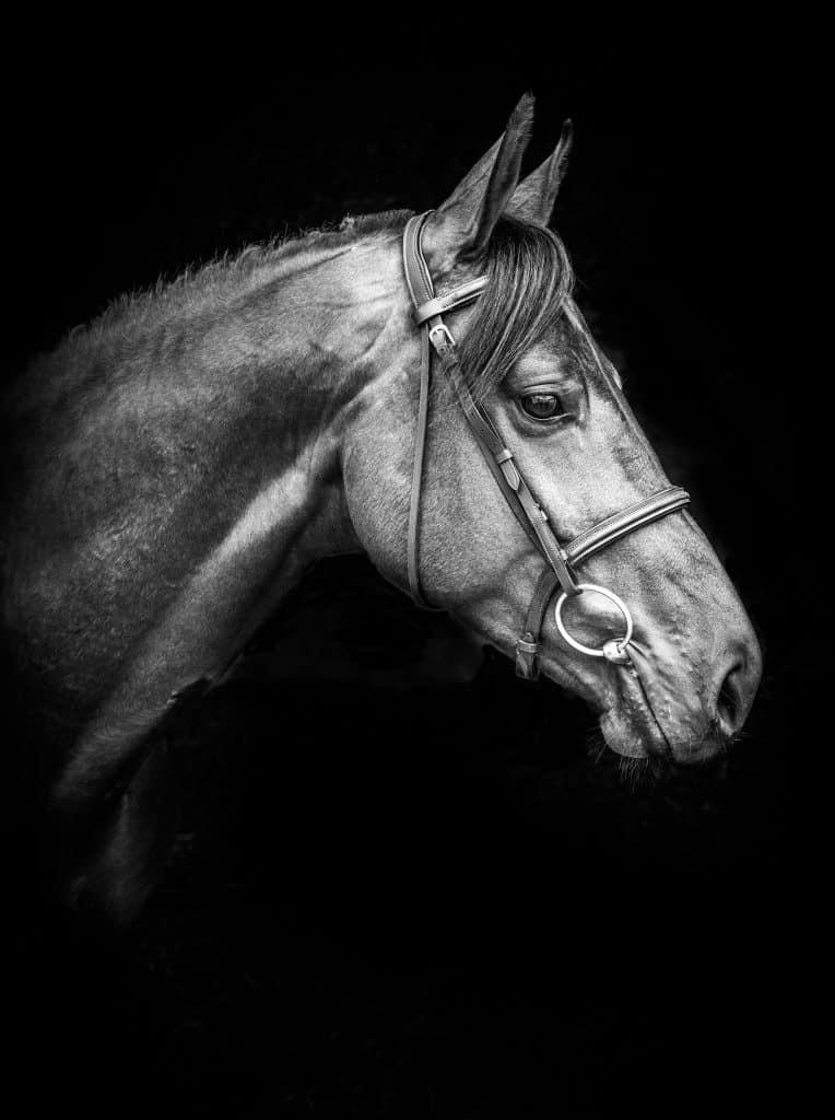 Portrait-young-breeding-stallion-Stockholm